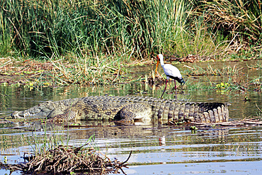 Ethiopia; Southern Nations Region; southern Ethiopian highlands; Chamo lake at Arba Minch; Nile crocodile in the afternoon sun; behind it an African stork