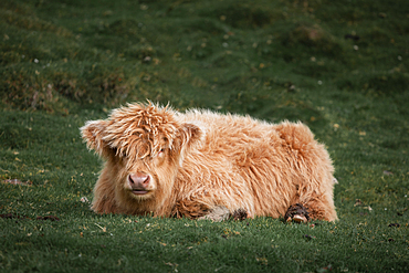 Cattle cub on the meadow of the Faroe Islands in the sun