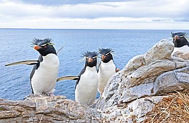 Group of rockhopper penguins (Eudyptes chrysocome chrysocome) on a rocky islet, East Falkland, Falkland Islands, South America