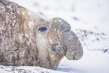 Southern elephant seal (Mirounga leonina) male resting on a sandy beach, Sea Lion Island, Falkland Islands, South America