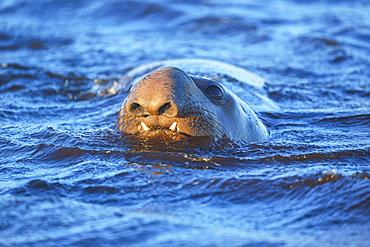 Southern elephant seal (Mirounga leonina) male swimming, Sea Lion Island, Falkland Islands, South America