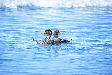 Steamer ducks swimming (Tachyeres brachypterus), Sea Lion Island, Falkland Islands, South America