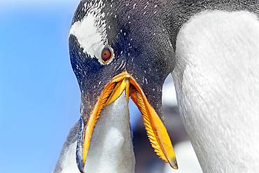 An adult Gentoo Penguins (Pygocelis papua papua) feeding its chick, Falkland Islands, South America