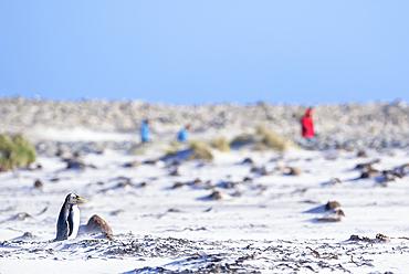 People watching gentoo penguin (Pygocelis papua papua), Sea Lion Island, Falkland Islands, South America