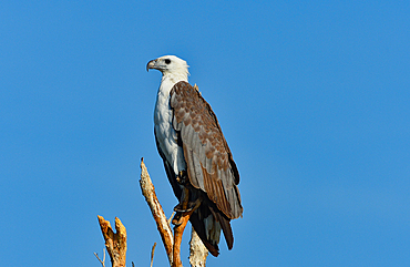 Close up of an eagle on a tree, Cooinda, Kakadu National Park, Northern Territory, Australia