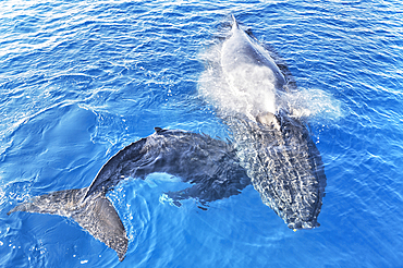 Humpback Whales (Megaptera novaeangliae), Mother and Calf surfacing and exhaling, Hervey Bay, Queensland, Australia