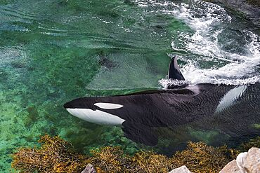 Giant killer whale, Reine, Moskenesoya, Lofoten, Nordland, Norway