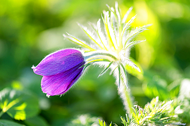 Pasque flower with bokeh