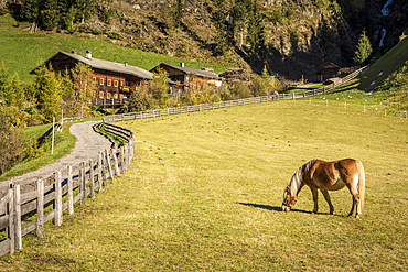 Haflinger horse and farm in Auservillgraten, Villgratental, East Tyrol, Tyrol, Austria