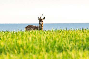 Roebuck overlooking the Baltic Sea, Hohes Ufer, Heiligenhafen, Ostholstein, Schleswig-Holstein, Germany