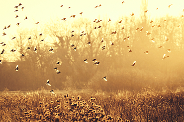 A flock of goldfinches in the winter evening light, Grube, Ostholstein, Schleswig-Holstein, Germany