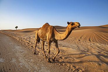 Camels runs along road through the desert, near Arabian Nights Village, Razeen Area of Al Khatim, Abu Dhabi, United Arab Emirates, Middle East