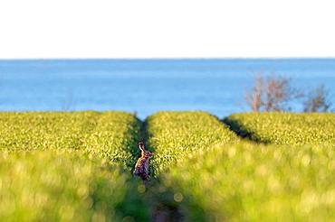 Brown hare overlooking the Baltic Sea, Hohes Ufer, Heiligenhafen, Ostholstein, Schleswig-Holstein, Germany