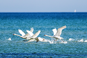 Swans in flight, Klostersee, Baltic Sea, East Holstein, Schleswig-Holstein, Germany
