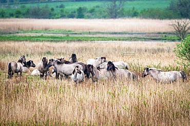 Koniks (wild horses) in the Geltinger Birk, Baltic Sea, nature reserve, Geltinger Birk, Schleswig-Holstein, Germany