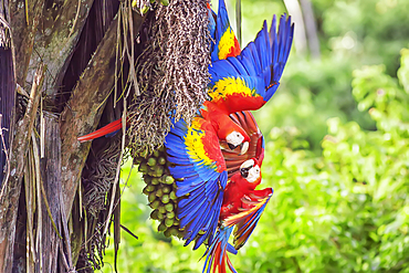 Scarlet Macaws (Ara macao), Corcovado National Park, Osa Peninsula, Costa Rica