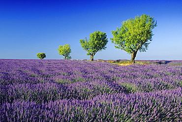 Almond trees in lavender field nder blue sky, Plateau de Valensole, Alpes de Haute Provence, Provence, France, Europe