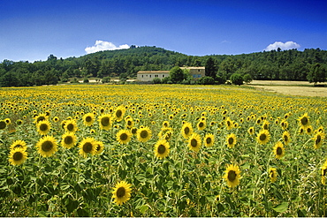 Field with sunflowers under blue sky, Plateau de Valensole, Alpes de Haute Provence, Provence, France, Europe