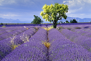 Almond tree in lavender field under clouded sky, Plateau de Valensole, Alpes de Haute Provence, Provence, France, Europe