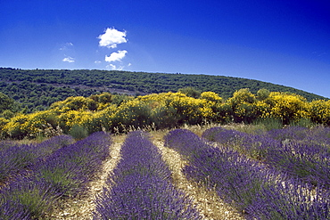 Lavender and gorse under blue sky, Plateau de Valensole, Alpes de Haute Provence, Provence, France, Europe