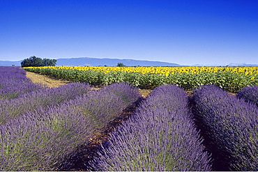 Lavender field and sunflowers under blue sky, Plateau de Valensole, Alpes de Haute Provence, Provence, France, Europe