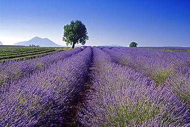 Almond tree in lavender field under blue sky, Plateau de Valensole, Alpes de Haute Provence, Provence, France, Europe