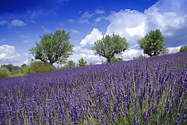 Almond trees in lavender field under clouded sky, Plateau de Valensole, Alpes de Haute Provence, Provence, France, Europe