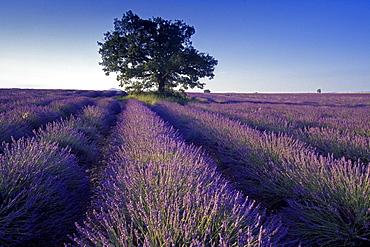 Oak tree in lavender field under blue sky, Plateau de Valensole, Alpes de Haute Provence, Provence, France, Europe
