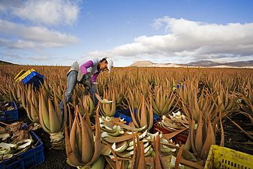 Worker on an aloe vera plantation, Valles de Ortega, Fuerteventura, Canary Islands, Spain, Europe