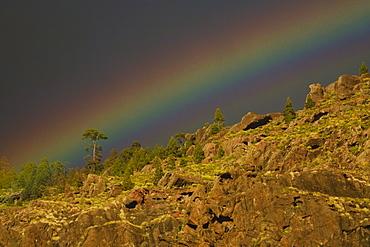 Rainbow above canarian pine trees, Valley of El Risco, Parque Natural de Tamadaba, Gran Canaria, Canary Islands, Spain, Europe