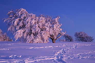Winter's evening on the Schauinsland, After sunset, Beech formed by storm, Black Forest, Baden-Wuerttemberg, Germany, Europe