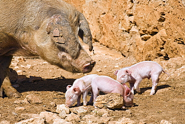 Domestic pig with piglets in the sunlight, Mallorca, Balearic Islands, Spain, Europe