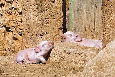 Two sleeping piglets, Mallorca, Balearic Islands, Spain, Europe
