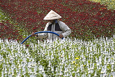 Farmer on field with flowers, Lam Dong Province, Vietnam, Asia