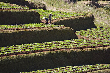 Farmers on terrace fields in the sunlight, Trai Mat, Lam Dong Province, Vietnam, Asia