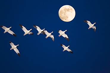Snow Geese flying to their roosting place at full moon, wintering in Bosque del Apache, New Mexico, USA