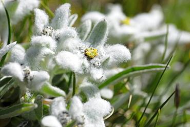 Edelweiss (Leontopodium alpinum), Naturpark Fanes-Sennes-Prags, Dolomites, Trentino-Alto Adige/South Tyrol, Italy