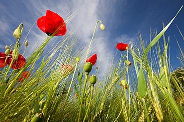 Red Poppy in Corn Field, Papaver rhoeas, Germany, Munich, Bavaria