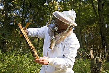 beekeeper, with smoke pipe, harvests honey from hives, Lower Saxony, Germany