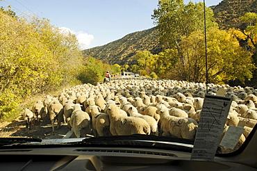 Sheep herd, Panguitch, Utah, USA