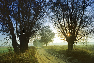Dawn along a path with old willow trees, Mecklenburg lake district, Mecklenburg-Western Pomerania, Germany