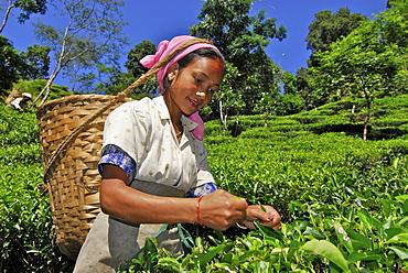 Woman plucking tea at Makaibari tae plantation, Darjeeling, West Bengal, India, Asia