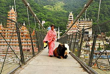Cow and pilgrim on suspension bridge over Ganges river at Rishikesh with ashram, Uttarakhand, India, Asia