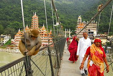 Monkey and pilgrims on suspension bridge over Ganges river at Rishikesh with ashram, Uttarakhand, India, Asia