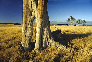 Eucalyptus tree in front of dry grass in the sunlight, Tasmania, Australia