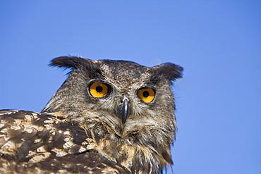 Eurasian Eagle Owl, Bubo bubo, Germany, Bavaria