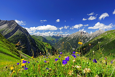 sea of flowers on ascent to hut Memminger Huette with view to Allgaeu range and Lechtal range, Lechtal range, Tyrol, Austria