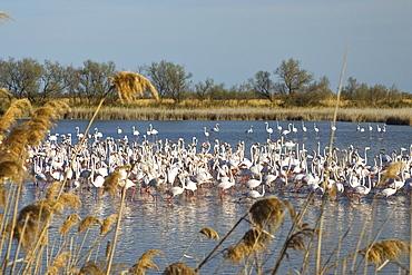 Greater Flamingo, Phoenicopterus ruber, Camargue, France