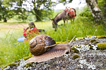 A burgundy snail on a stone, family-hiking with a donkey in the Cevennes mountains, France