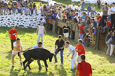 Bullfighting in Altares, Northcoast, Terceira Island, Azores, Portugal